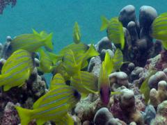 Common bluestripe snapper swimming and schooling, Lutjanus kasmira, HD, UP17756 Stock Footage