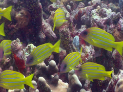Common bluestripe snapper swimming and schooling, Lutjanus kasmira, HD, UP17757 Stock Footage