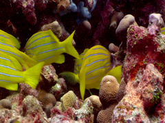 Common bluestripe snapper swimming and schooling, Lutjanus kasmira, HD, UP17758 Stock Footage