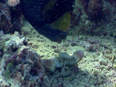 Titan triggerfish feeding, Balistoides viridescens, HD, UP17768 Stock Footage