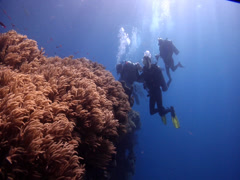 Group of scuba divers on shallow coral reef with Slimy leather coral in Fiji Stock Footage