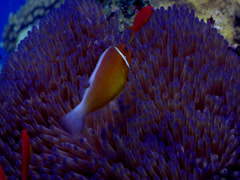 Pink anemonefish hovering, Amphiprion perideraion, HD, UP17800 Stock Footage