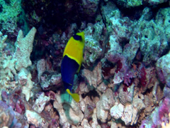 Bicolor angelfish feeding at dusk, Centropyge bicolor, HD, UP17844 Stock Footage
