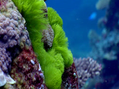 Male adult Black-axil chromis nesting, Chromis atripectoralis, HD, UP17862 Stock Footage