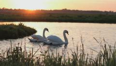 Swans in a lake by sunset and with little babies - stock footage