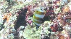 Orangebanded coralfish feeding, Coradion chrysozonus, HD, UP17882 Stock Footage
