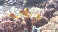 Stock Video Footage of Fish | Anthias | Threadfin Anthias | Medium Shot