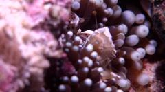 Porcelain crab feeding, Neopetrolisthes maculatus, HD, UP17904 Stock Footage