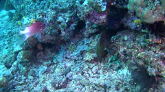 Giant moray swimming, Gymnothorax javanicus, HD, UP17919 Stock Footage