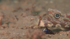 Twinspot goby, Signigobius biocellatus, HD, UP17962 Stock Footage
