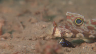 Stock Video Footage of Fish | Gobies | Twinspot Goby | Close Up