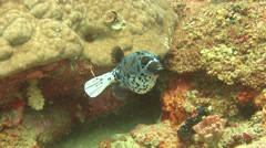 Black-spotted pufferfish swimming, Arothron nigropunctatus, HD, UP17966 Stock Footage