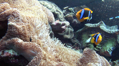 Orangefin anemonefish nesting, Amphiprion chrysopterus, HD, UP18018 Stock Footage