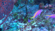 Stock Video Footage of Fish | Anthias | Purple Anthias | Medium Shot