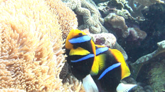 Orangefin anemonefish nesting, Amphiprion chrysopterus, HD, UP18024 Stock Footage