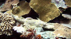 Crocodilefish, Cymbacephalus beauforti, HD, UP18028 Stock Footage