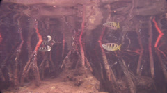 Banded archerfish swimming in mangroves, Toxotes jaculatrix, HD, UP18034 Stock Footage