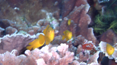 Yellow damsel swimming and schooling, Pomacentrus moluccensis, HD, UP18064 Stock Footage