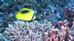 Oval-spot butterflyfish feeding, Chaetodon speculum, HD, UP18076 Stock Footage