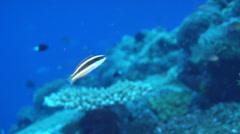 Juvenile Torpedo wrasse swimming, Pseudocoris heteroptera, HD, UP18125 - stock footage