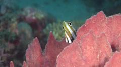 Juvenile Two-eyed coralfish feeding, Coradion melanopus, HD, UP18140 Stock Footage