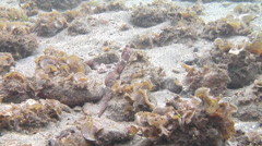 Common seahorse swimming, Hippocampus taeniopterus, HD, UP18152 Stock Footage