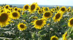 Sunflowers Summer Background HD - stock footage