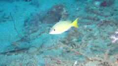 Pale monocle bream swimming, Scolopsis affinis, HD, UP18183 Stock Footage