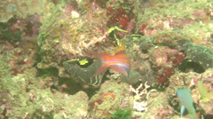 Filamented flasher-wrasse swimming at dusk, Paracheilinus filamentosus, HD, Stock Footage