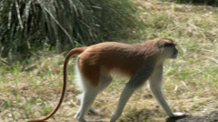 A Patas Monkey Walking In a Field, 4K, UHD Stock Footage