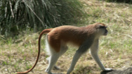 Stock Video Footage of A Patas Monkey Walking In a Field, 4K, UHD