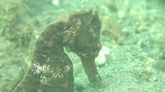 Common seahorse breathing, Hippocampus taeniopterus, HD, UP18201 Stock Footage