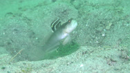 Stock Video Footage of Fish | Gobies | Flagfin Shrimpgoby | Symbiotic Relationship | Medium Shot