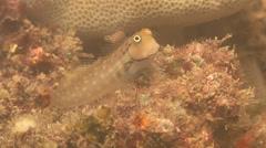 Yaeyama coralblenny, Ecsenius yaeyamaensis, HD, UP18214 Stock Footage