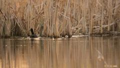 Black coot searching for suitable material for its nest in the lake in summer Stock Footage
