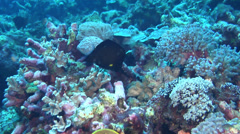 Longnose butterflyfish swimming, Forcipiger longirostris, HD, UP18287 Stock Footage