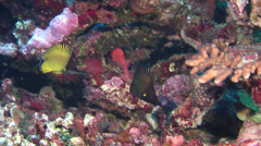 Longnose butterflyfish swimming, Forcipiger longirostris, HD, UP18288 Stock Footage