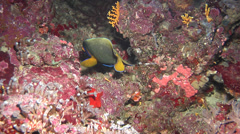 Yellow-mask angelfish swimming, Pomacanthus xanthometopon, HD, UP18292 Stock Footage