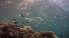 Convict tang spawning and schooling, Acanthurus triostegus, HD, UP18307 Stock Footage
