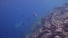 Bumphead parrotfish feeding, Bolbometopon muricatum, HD, UP18322 Stock Footage