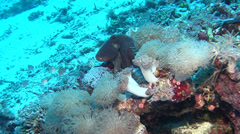 Common reef octopus hunting, Octopus cyanea, HD, UP18342 Stock Footage