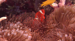 Spine-cheek Anemonefish swimming, Premnas biaculeatus, HD, UP18370 Stock Footage