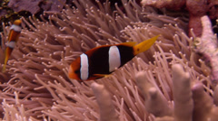 Clark's anemonefish swimming, Amphiprion clarkii, HD, UP18375 Stock Footage