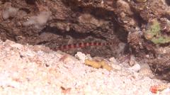 Ringed pipefish swimming, Dunckerocampus dactyliophorus, HD, UP18394 Stock Footage