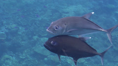 Bigeye trevally courting, Caranx sexfasciatus, HD, UP18485 Stock Footage
