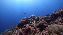Titan triggerfish feeding on shallow coral reef, Balistoides viridescens, HD, Stock Footage