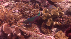 Quoys parrotfish feeding, Scarus quoyi, HD, UP18559 Stock Footage