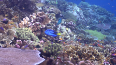 Cleaner wrasse cleaning and being cleaned, Labroides dimidiatus, HD, UP18563 Stock Footage