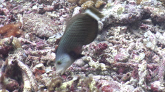 Rockmover wrasse hunting, Novaculichthys taeniourus, HD, UP18598 Stock Footage