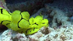 Giant yellow nudibranch walking, Notodoris minor, HD, UP18611 Stock Footage